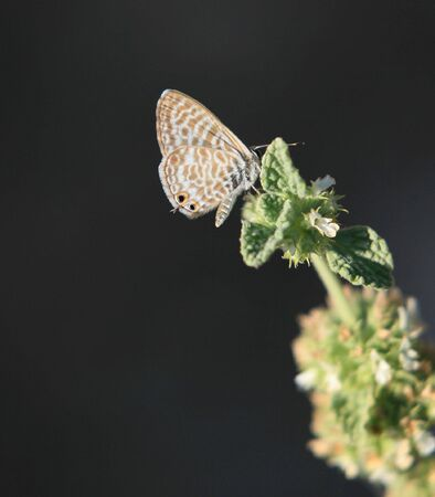 adaptation: Langs short-tailed blue, Leptotes pirithous, at rest on a plant in Crete, Greece. Macro. The antenna-like tail beside the fake eyes are a remarkable evolutionary adaptation. Macro (the insect is only about 1cm in height)