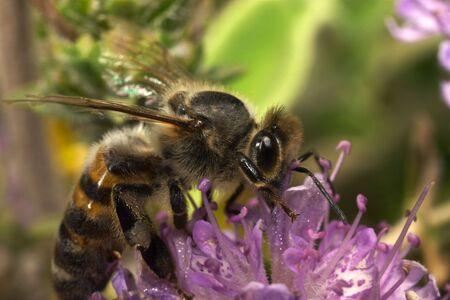 apocrita: A honeybee feeding on thyme. Extreme macro with outstanding detail.
