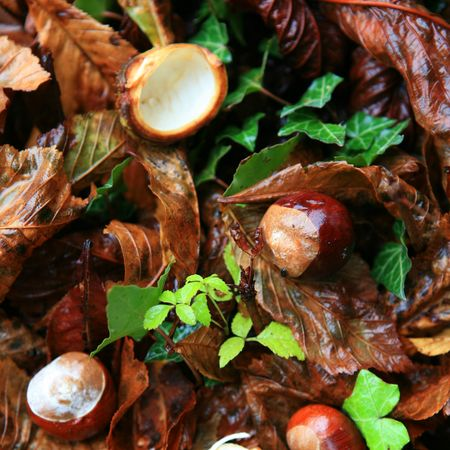 conkers: Conkers (horse chestnuts) among the fallen leaves on a wet autumn day in England.