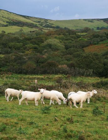 Newly sheared sheep in the Dorset, England, countryside