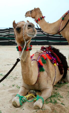 saddle camel: Two camels, saddled and adorned in the traditional Arab style, at a cultural event in Doha, Qatar, Arabia. Stock Photo