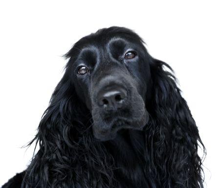 bitch: Retrato de un negro perra Cocker spaniel sobre un fondo blanco.  Foto de archivo