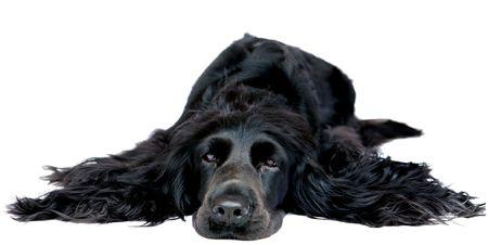 A black cocker spaniel bitch lying prone on a white background Stock Photo
