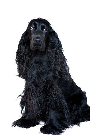 A black Cocker Spaniel bitch sitting on a white background