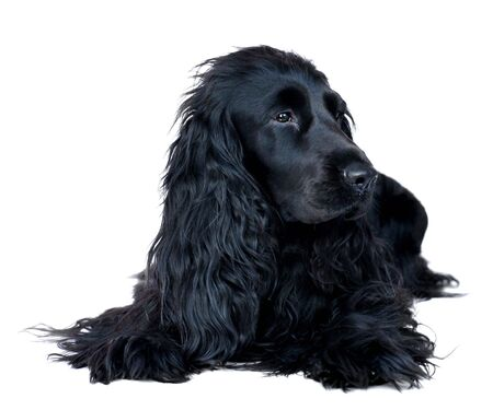 An English Cocker Spaniel bitch lying in an alert pose on a white background.