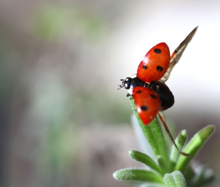 coccinella: Macro photo of a seven-spot ladybird (or ladybug) Coccinella septempunctata taking off from a lavender leaf