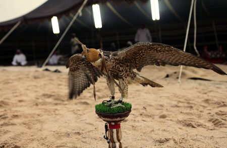 bedouin: A hunting falcon tethered to a post stretches its wings at dusk while Qatar Arabs (out of focus) relax in the tent behind, which is lit with flourescent tubes. Stock Photo