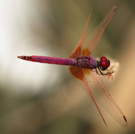 dropwing: A purple dragonfly, Trithemis aurora, the dropwing aurora or crimson marsh glider, at rest in Doha, Qatar. The species is also reported form Saudi Arabia