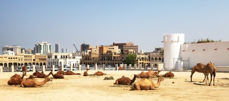 souq: Camels belonging to the tourist police relax outside the main souq and fort in Central Doha, Qatar, September 2010 Stock Photo