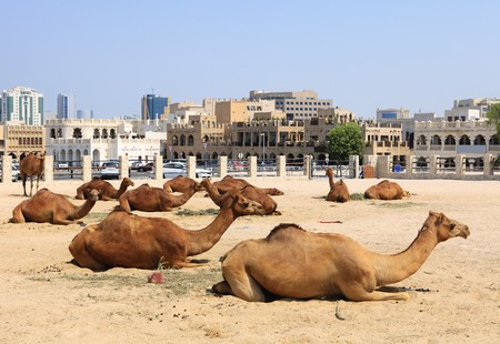 souq: Camels resting in a compound in central Doha, Qatar, with the main souq, Souq Waqif in the background. Logos removed.