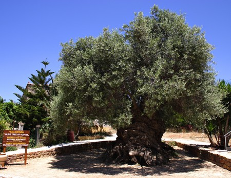 oldest: The olive tree at Vouves, in the Kolymbari district of Crete, is at least 2,000 years old and reportedly carbon-dated 3,500-5,000 year. It is likely to be the worlds oldest olive tree and still fruits. The circumference is 12.5 metres