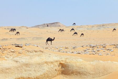 A herd of camels in the south of Qatar, Arabia photo