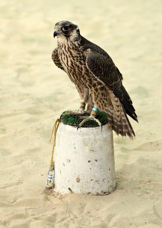 shackled: A la caza del halc�n peregrino encadenado a su percha en Arabia.