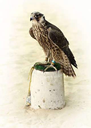 peregrine: A hunting peregrine falcon shackled to its perch in Arabia.