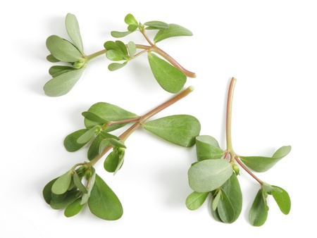 Wild purslane growing in Qatar, Arabia. This weed makes a pleasant addition to salads and is grown commerically. It originated in arid countries and is well-adapted to mediterranean and African climates. Stock Photo