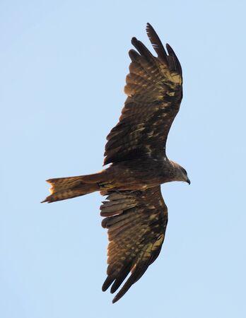 milvus: A black kite in the Varkala area of Kerala, India, seen from below