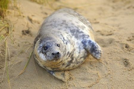 become: A grey seal pup on Horsey Beach, Norfolk, England, where a breeding colony has become established over the last few years. Despite its size this baby is only a few weeks old.