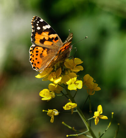 eyespot: A Painted Lady butterfly (Vanessa cardui) feeding from a brassica flower in Doha, Qatar, Arabia, showing the markings on the upper side of the wing.