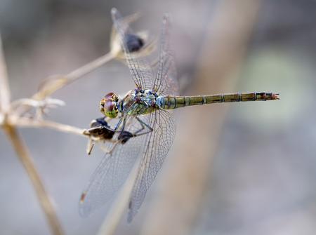 darter: Female Common Darter dragonfly, Sympetrum striolatum, near a small stream on Crete, Greece. Stock Photo