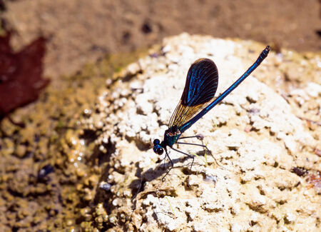subspecies: Calopteryx splendens cretensis  the Cretan subspecies of the  Banded Demoiselle resting beside a stream in Rethymnon praefecture Stock Photo