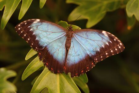 irridescent: the Peleides Blue Morpho butterfly from Central or South America. Stock Photo