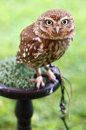 widespread: The Little Owl, Athene noctua, in captivity. The species is widespread throughout Europe Stock Photo
