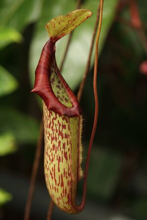 insectivorous: A pitcher plant, Nepenthes sp., from the forests of Borneo. This is probably one of the species in the N. maxima complex. Stock Photo
