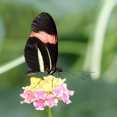 longwing: Red Postman butterfly at rest (Heliconius erato cyrbia, also known as the Crimson-patched longwing, the Small postman or the Red Passion Flower butterfly. The species is from South America