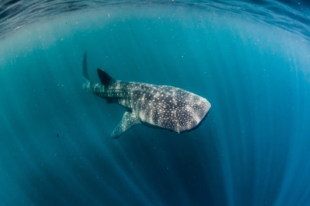 whale shark and sun rays photo