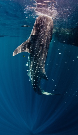 vertical feeding whale shark photo