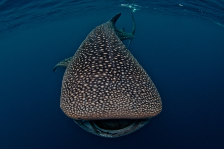 shark bay: whale shark looking at you Stock Photo
