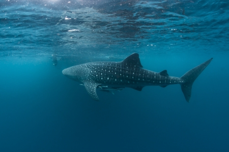 whales shark in the blue of cenderawasih bay photo