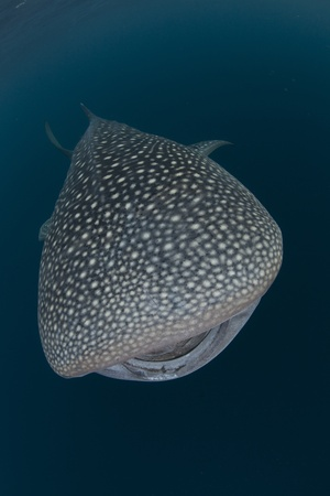 whale shark in the blue sea of cenderawasih bay, indonesia photo