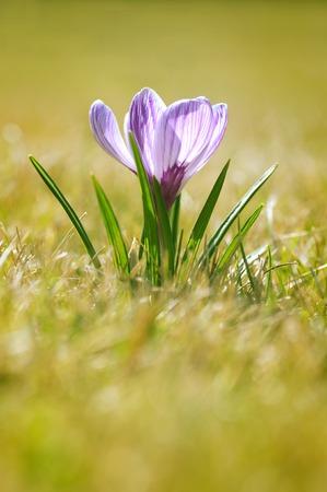 lila Blume im Gras wächst Lizenzfreie Bilder