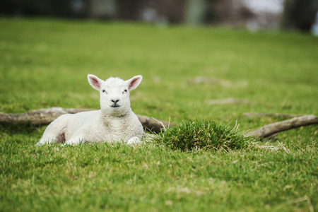 waits: A young lamb waits calmly and patiently for its mother in the green pasture.