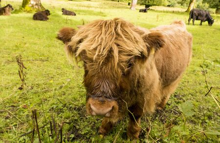 comical: Highland Calf with other Cattle. A slightly comical image image in wide angle of the calf staring into the camera. Stock Photo