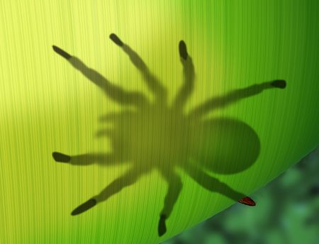 tarantula: Illustration of a tarantula spider sitting on a translucent leaf