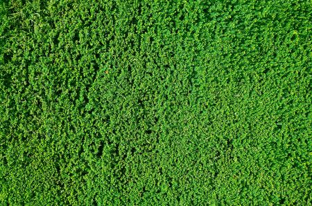 tightly: Tightly cropped border hedge texture or background Stock Photo