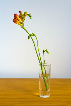 freesia: Red and yellow freesia flowers in a small  shot glass