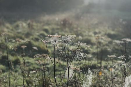 laden: Misty morning highlight dew laden cobwebs across a field Stock Photo