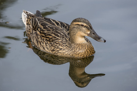 Female mallard duck swimming on a lake