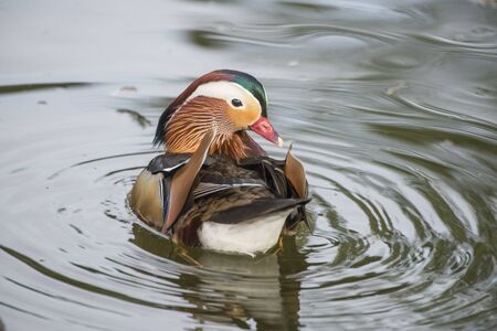 wildfowl: Vibrant mandarin duck swimming on a lake