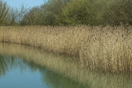 bulrushes: Bulrushes on the edge of a lake in Spring