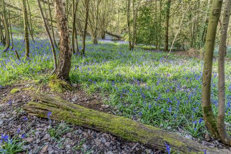 floor covering: Bluebells covering the floor of an ancient wood