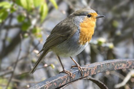 robin: Small robin perched on a garden gate Stock Photo