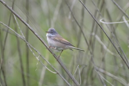 perched: Whitethroat bird perched on a reed in the undergrowth Stock Photo