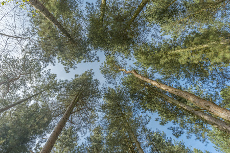 straight up: View looking straight up through tall trees Stock Photo