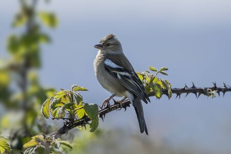 bramble: Female chaffinch perched on a thorny bramble branch