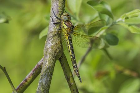 hawker: Female Hairy Hawker Dragonfly resting on a branch