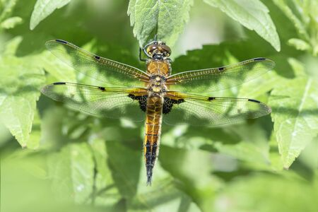 chaser: Four Spotted Chaser Dragonfly resting on a leaf